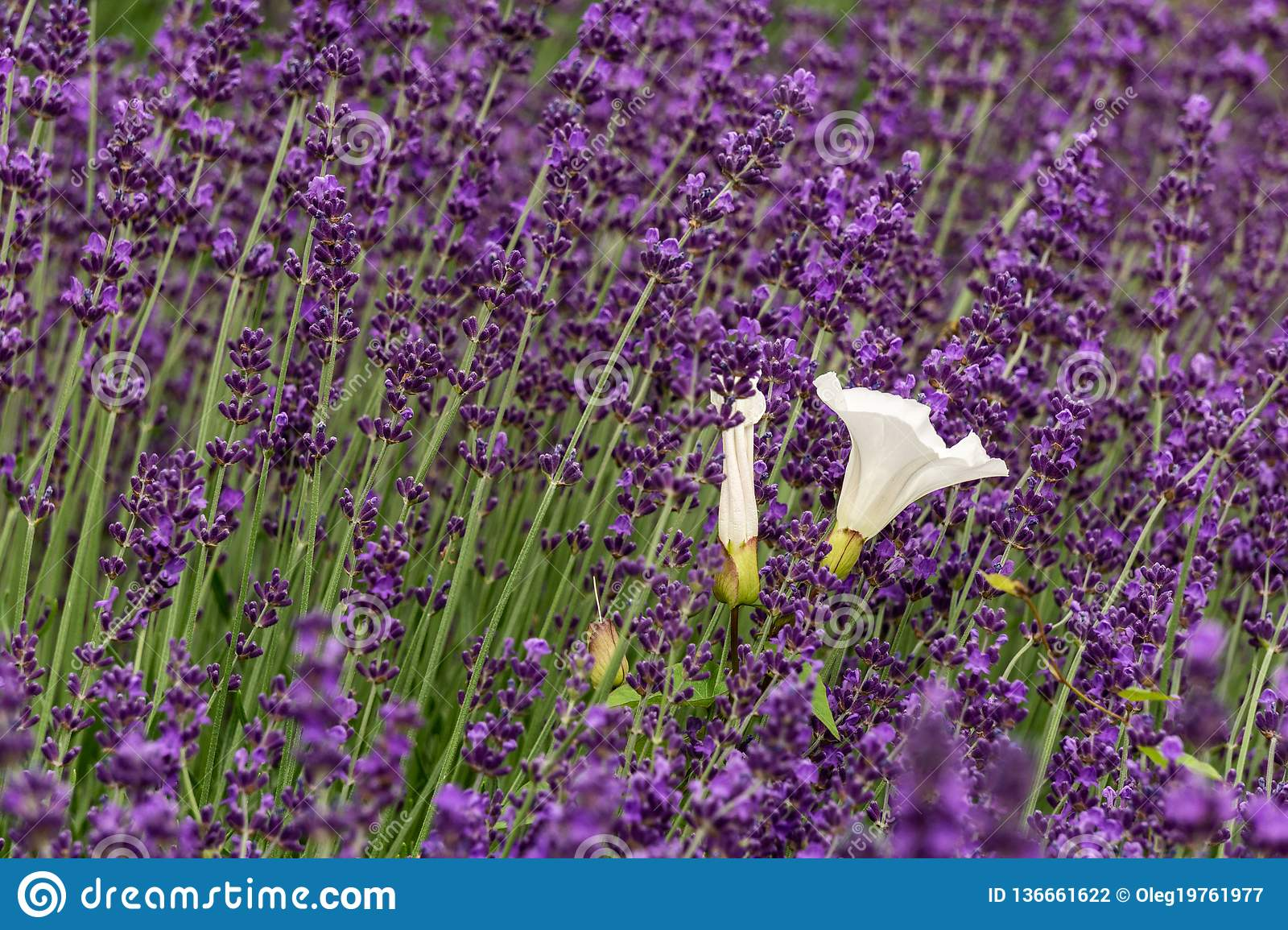 Lavender flower violet Lavandula flowers in nature with copy space