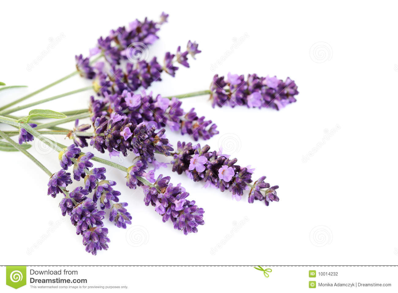lavender flowers stock photography  image, Beautiful flower
