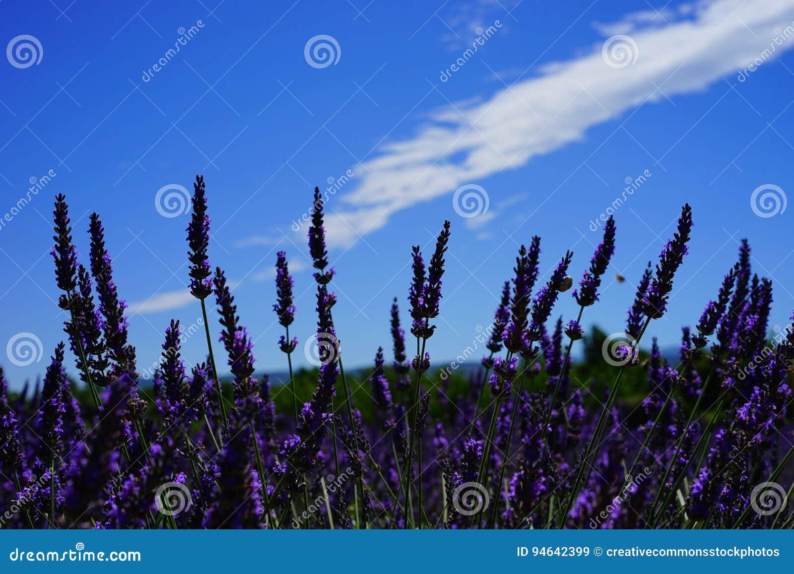 072a7bd5428 Free Public Domain CC0 Image  Lavender Flowers Picture. Image  94642399