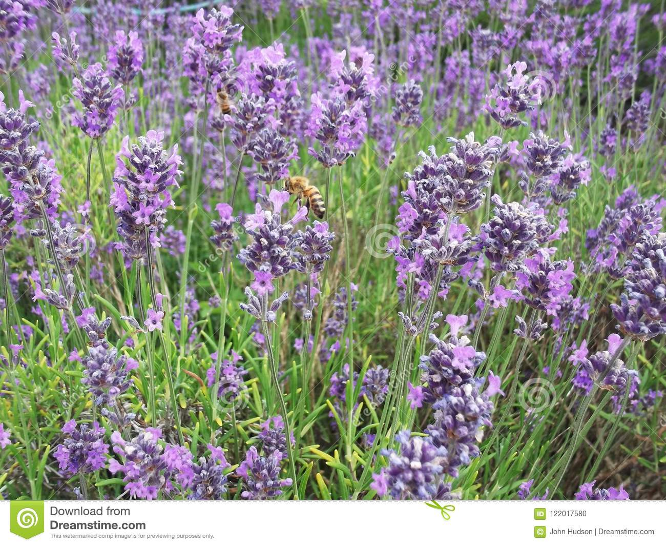 Lavender flowers with bees collecting nectar