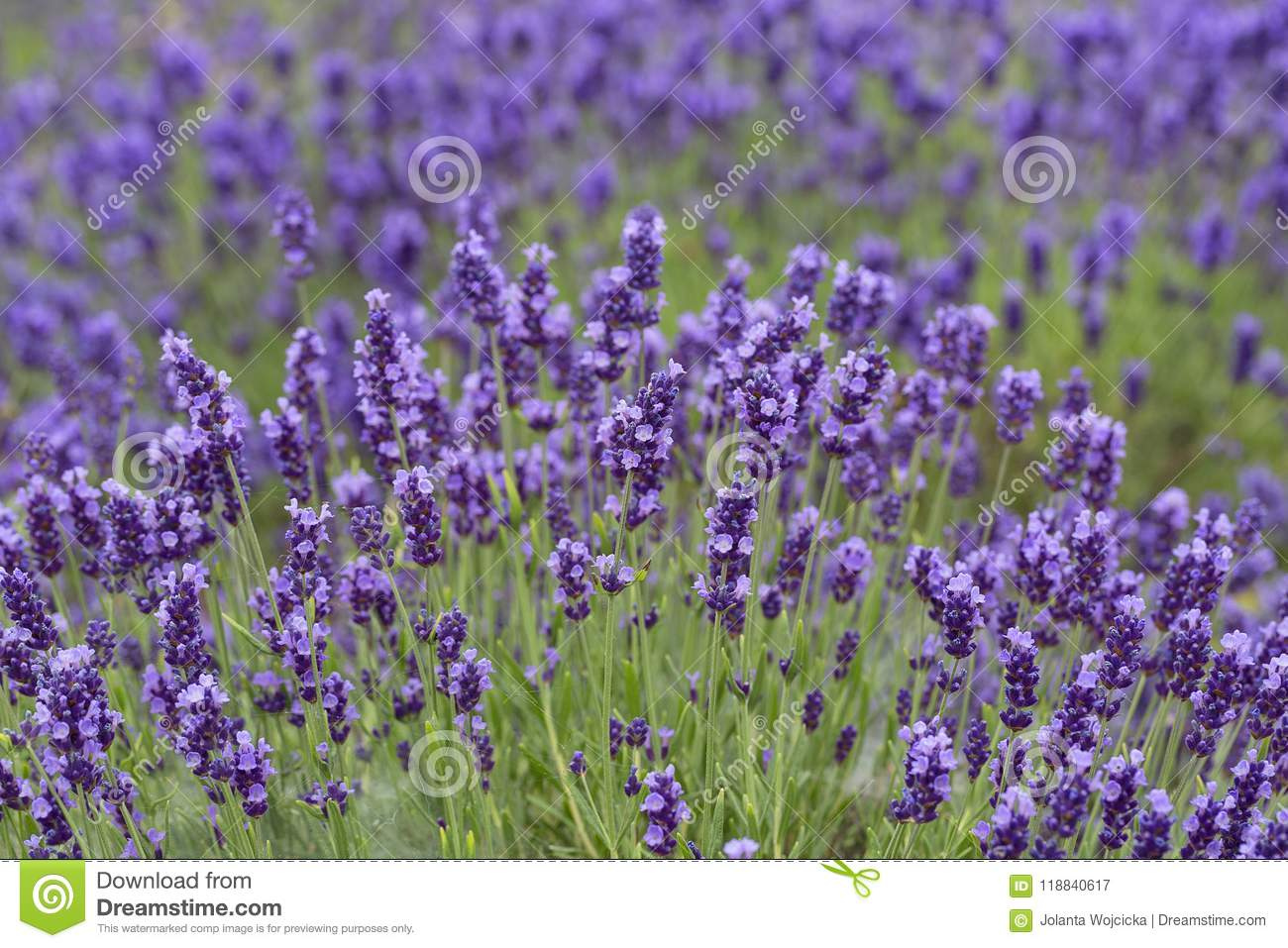 Lavender flowers blooming in the garden beautiful lavender field lavender flowers blooming in the garden beautiful lavender field izmirmasajfo
