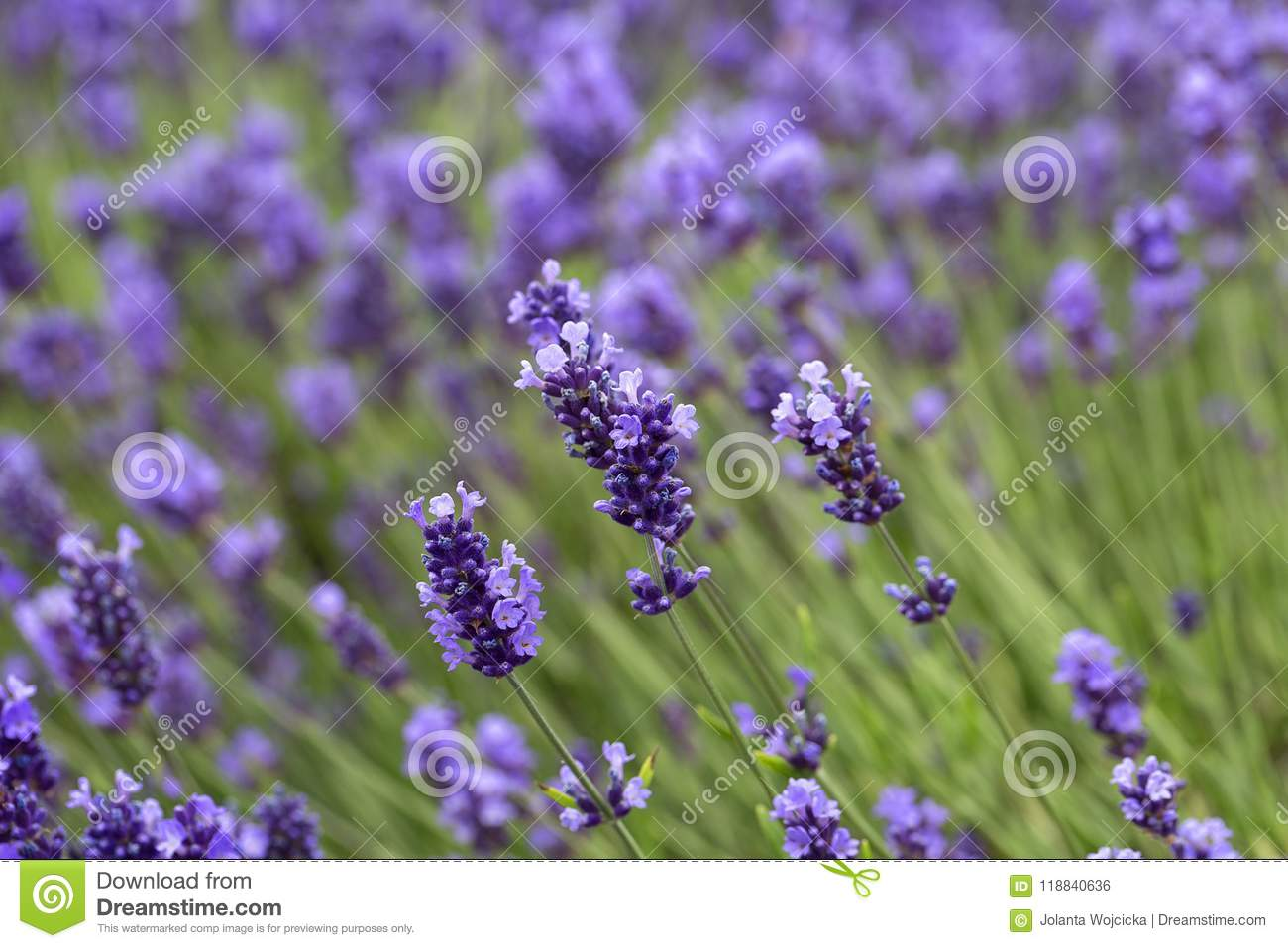 Lavender flowers blooming in the garden beautiful lavender field download lavender flowers blooming in the garden beautiful lavender field stock photo image of izmirmasajfo