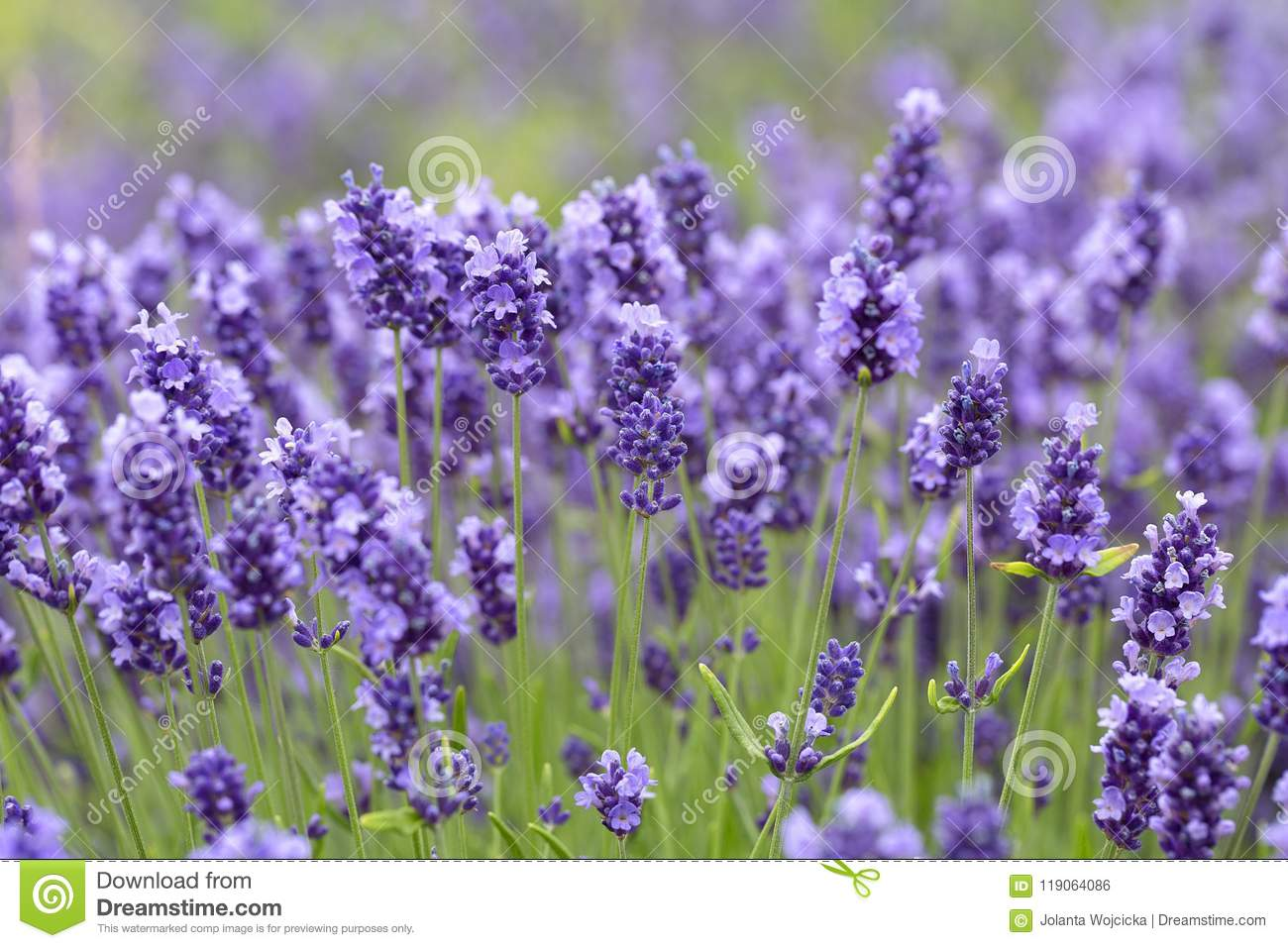 Lavender flowers blooming in the garden beautiful lavender field download lavender flowers blooming in the garden beautiful lavender field stock photo image izmirmasajfo