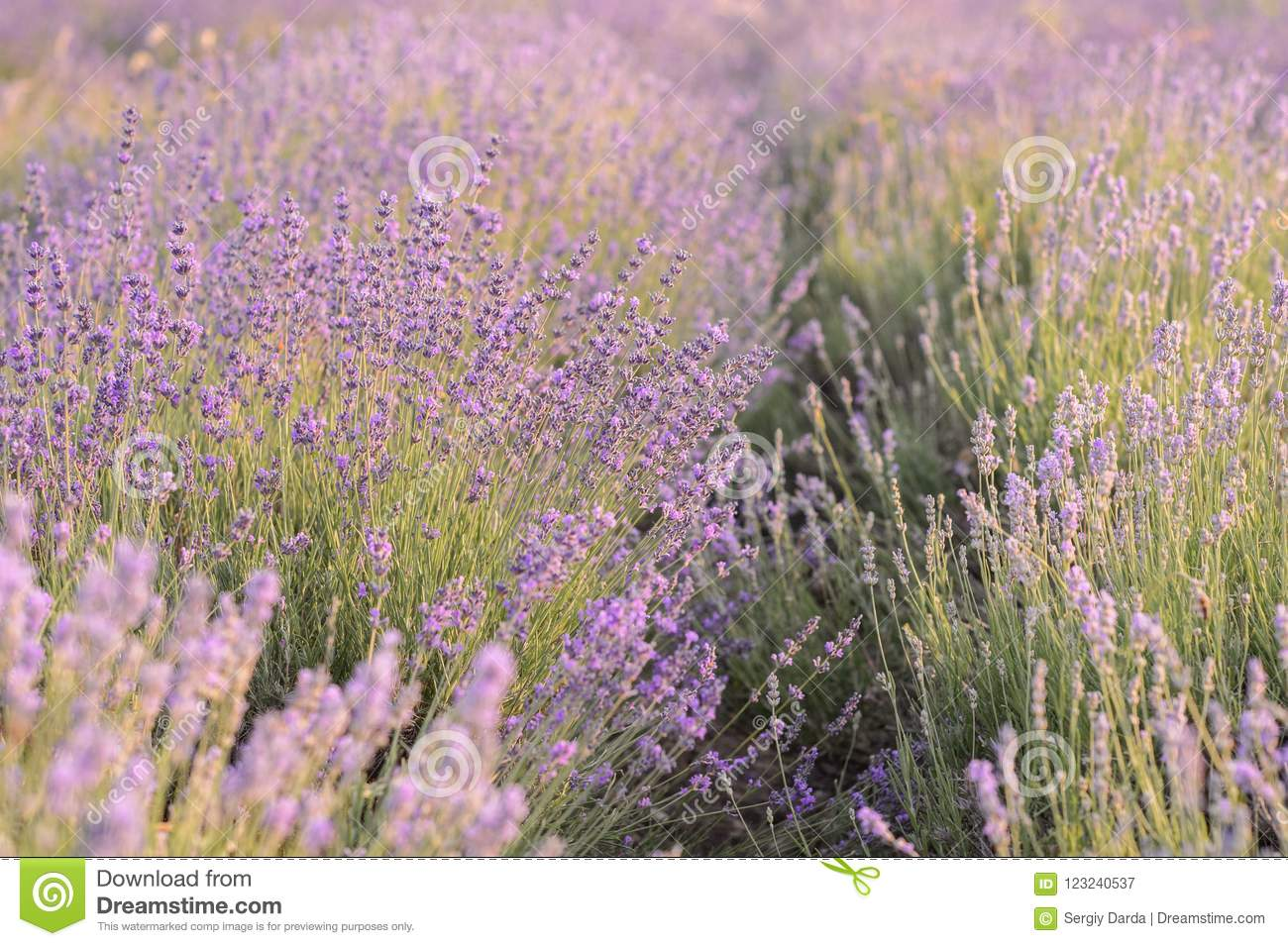 Lavender flowers blooming. Purple field of flowers. Tender lavender flowers.
