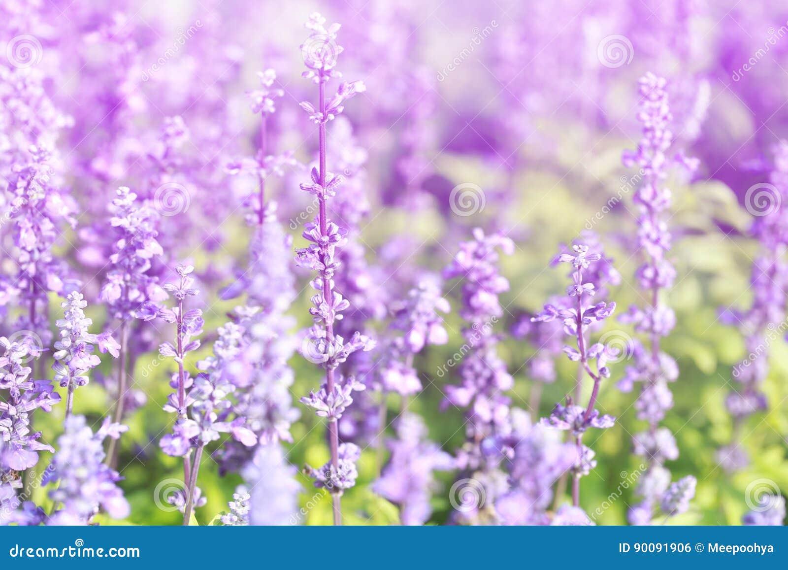 Lavender flowers blooming Vintage color in the garden.