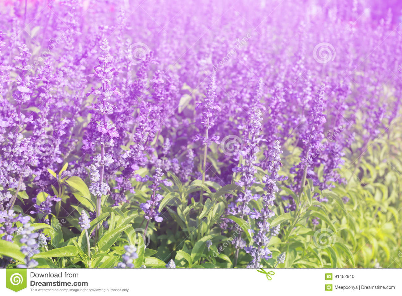 Lavender flowers blooming Vintage color in the garden.
