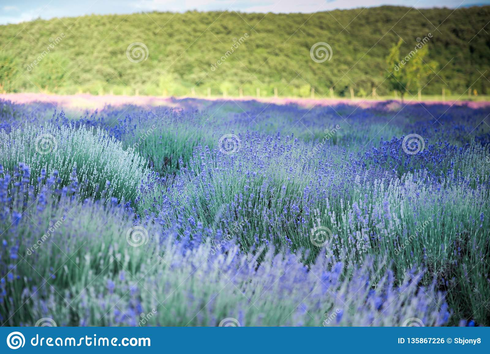 Lavender flowers on field in summer in Hungary