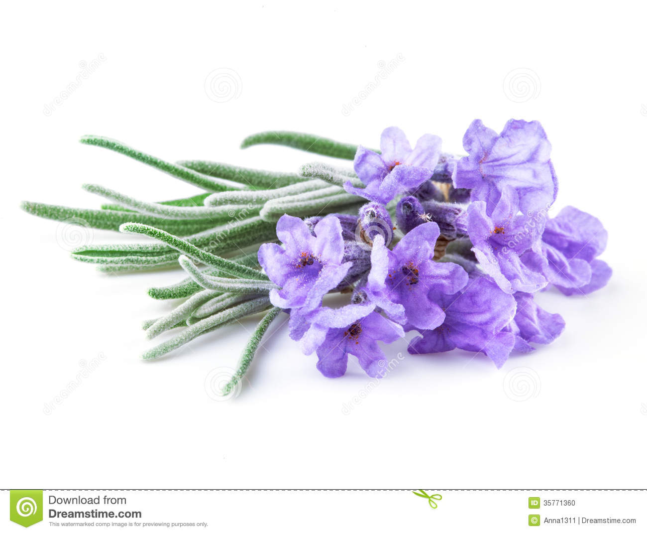 lavender. flowers isolated on white stock photo  image, Beautiful flower