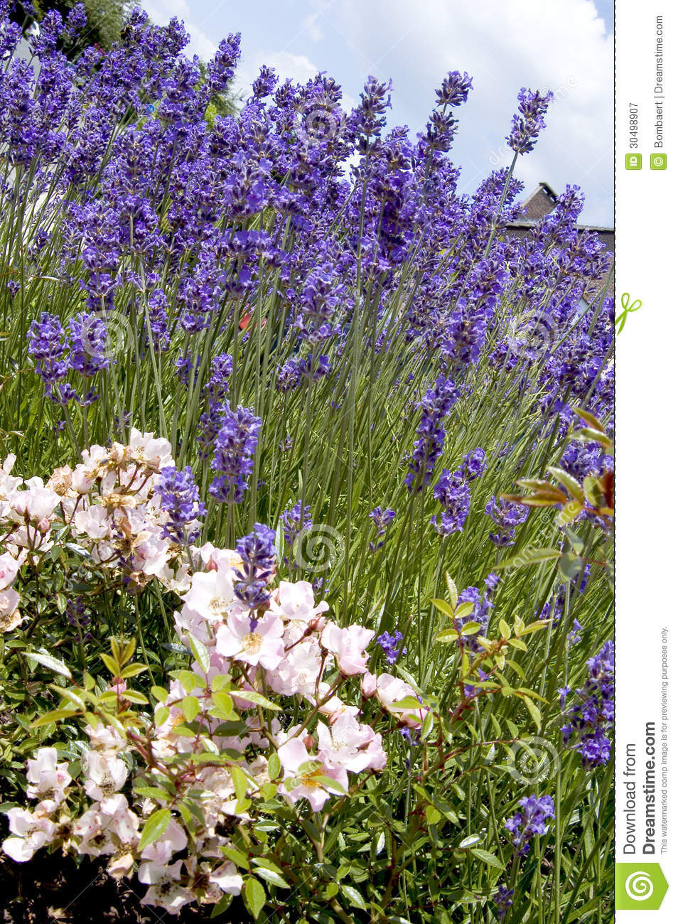 Most Excellent Lavender Flower Garden 954 x 1300 · 371 kB · jpeg