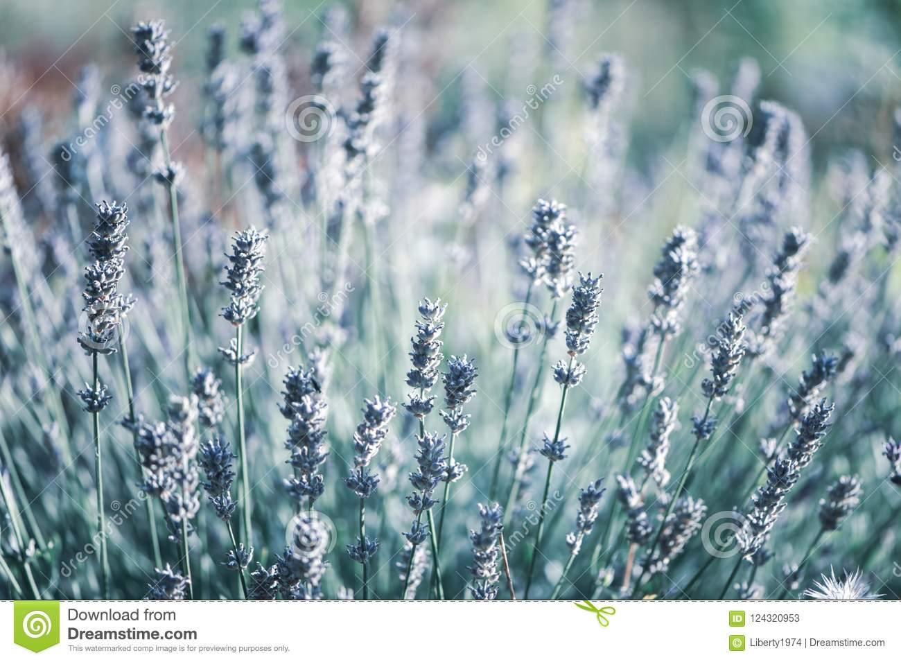 Lavender Flowers macro. Stylish, tinted floral background.