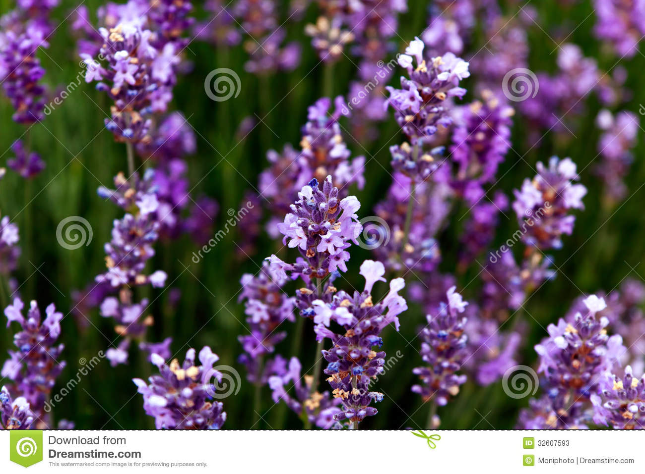 Lavender flowers in the provence stock photos image