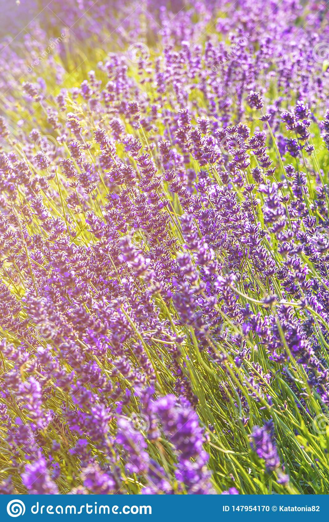 Lavender flowers at sunlight in a soft focus