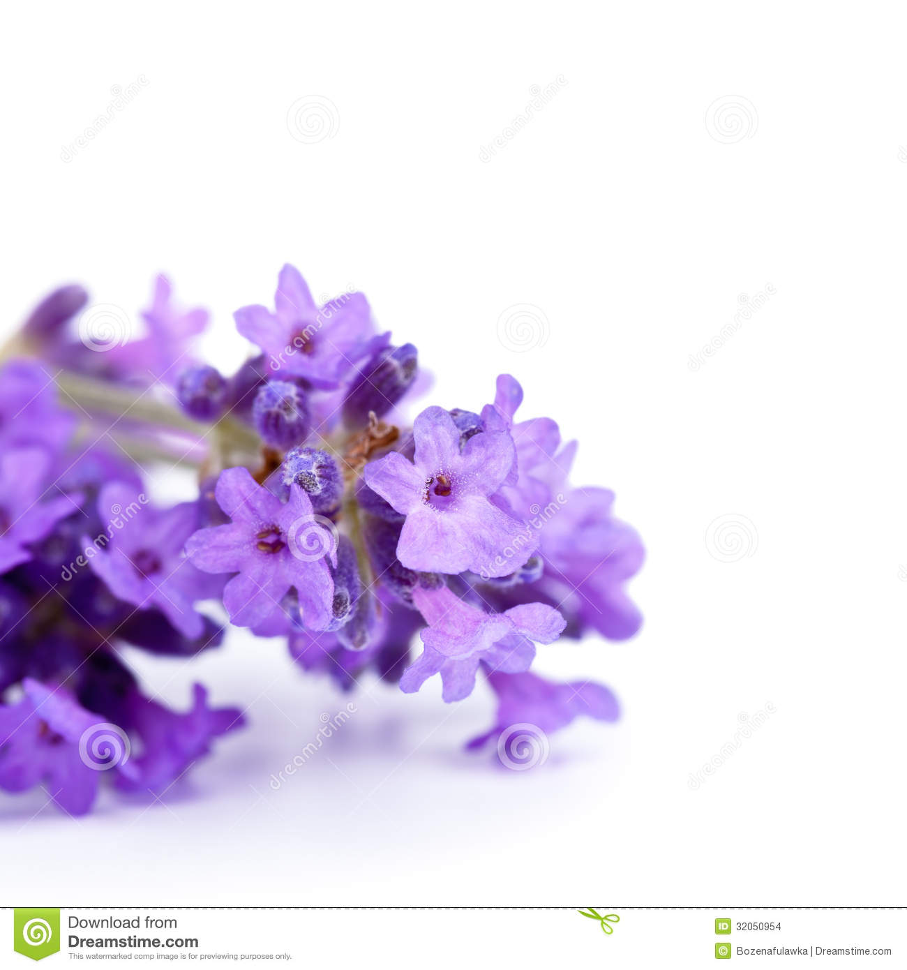 lavender flowers stock images  image, Beautiful flower