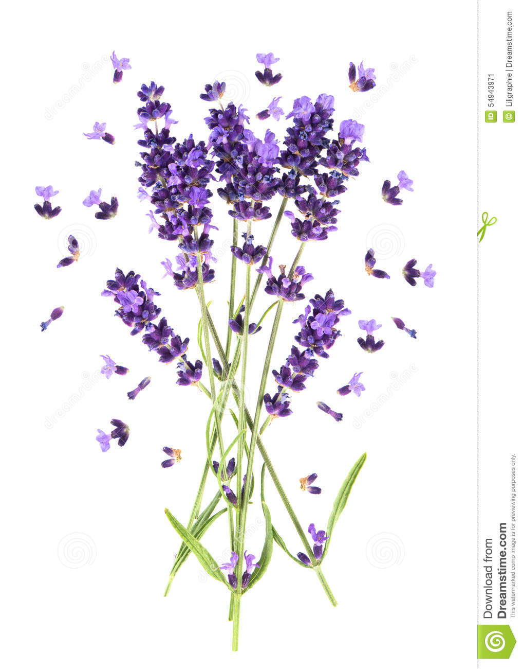 Lavender flowers on white. Fresh provencal plant