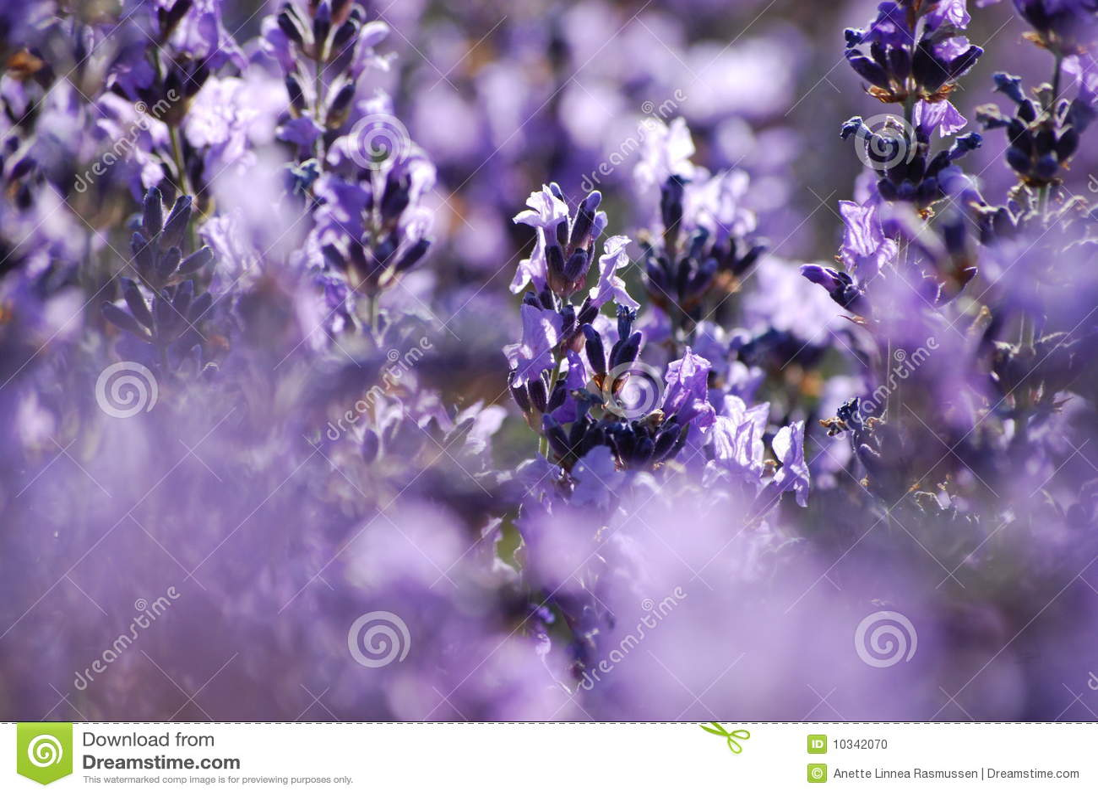 Blue Garden Lavender ...