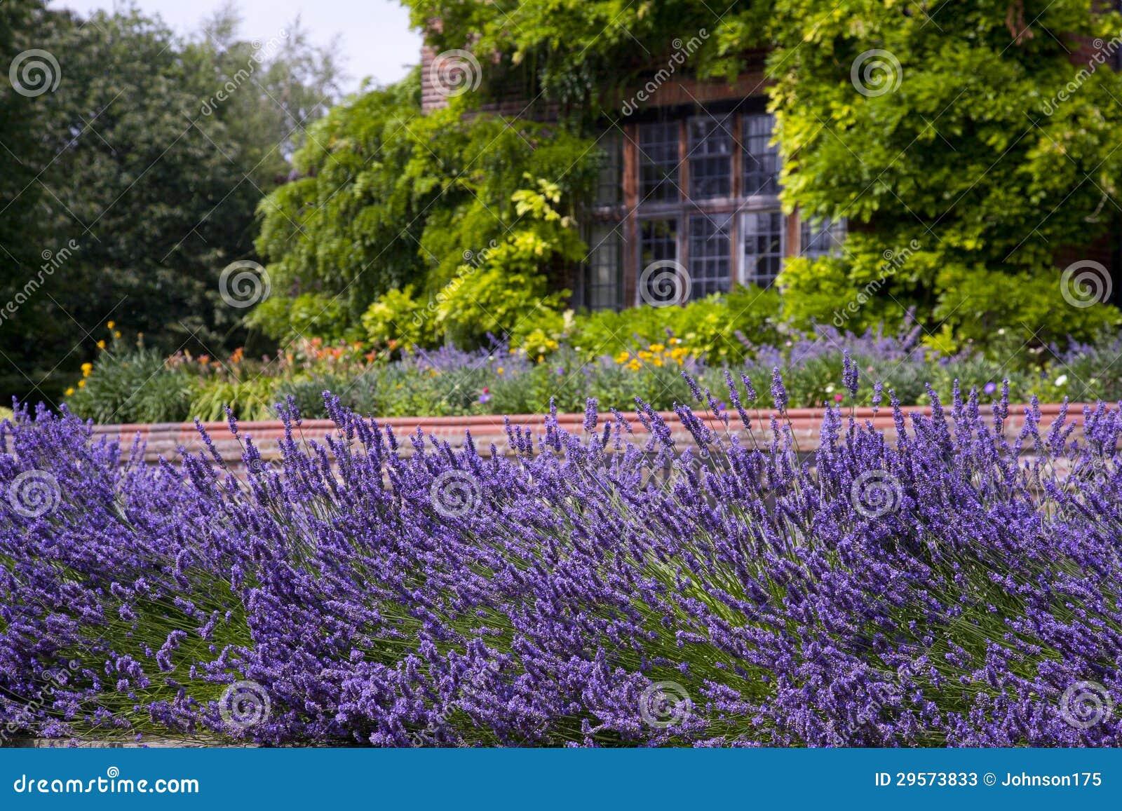 Garden Lavender ...