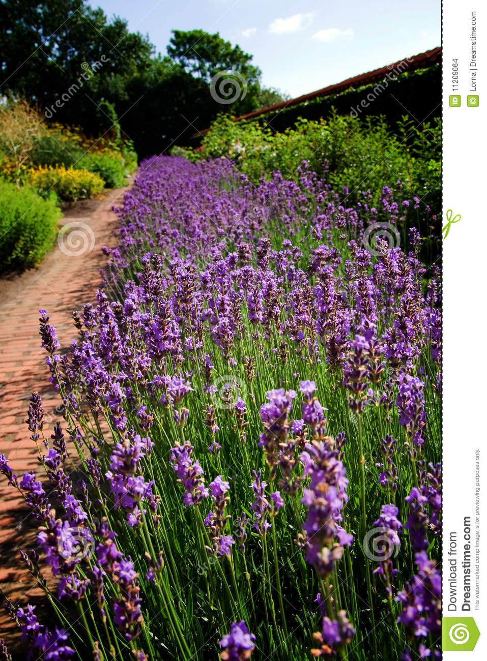 Lavender Garden Flower Bed Stock Images Image 11209064