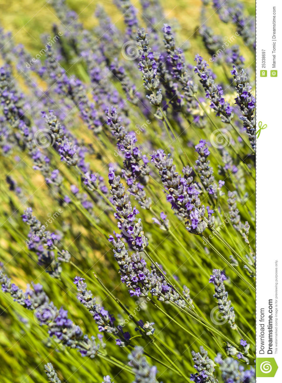 The lavender (Lavandula)