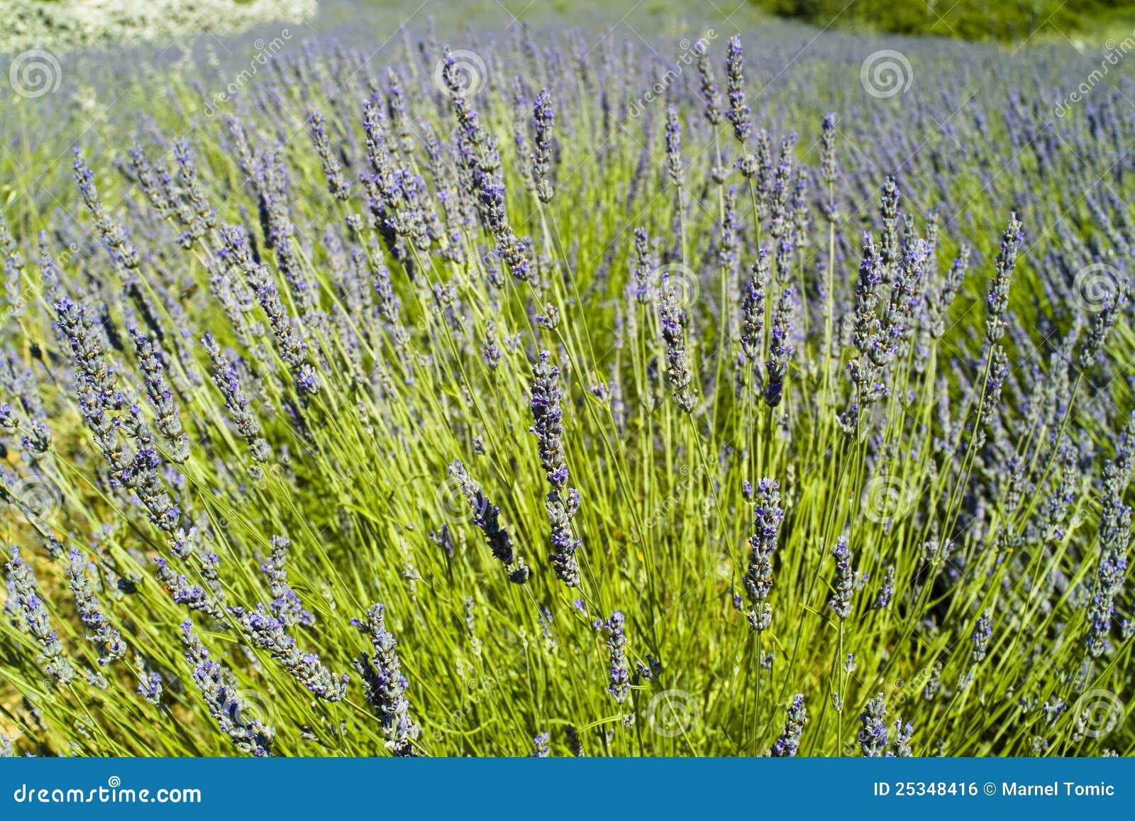 The lavender (Lavandula) bush and field