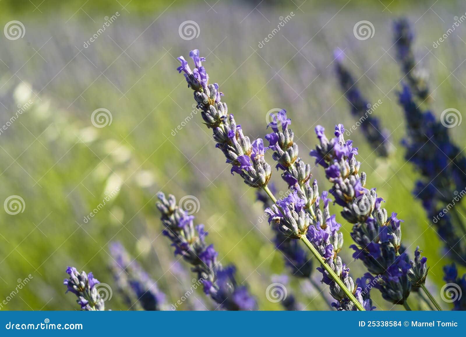 The lavender (Lavandula) flower closeup