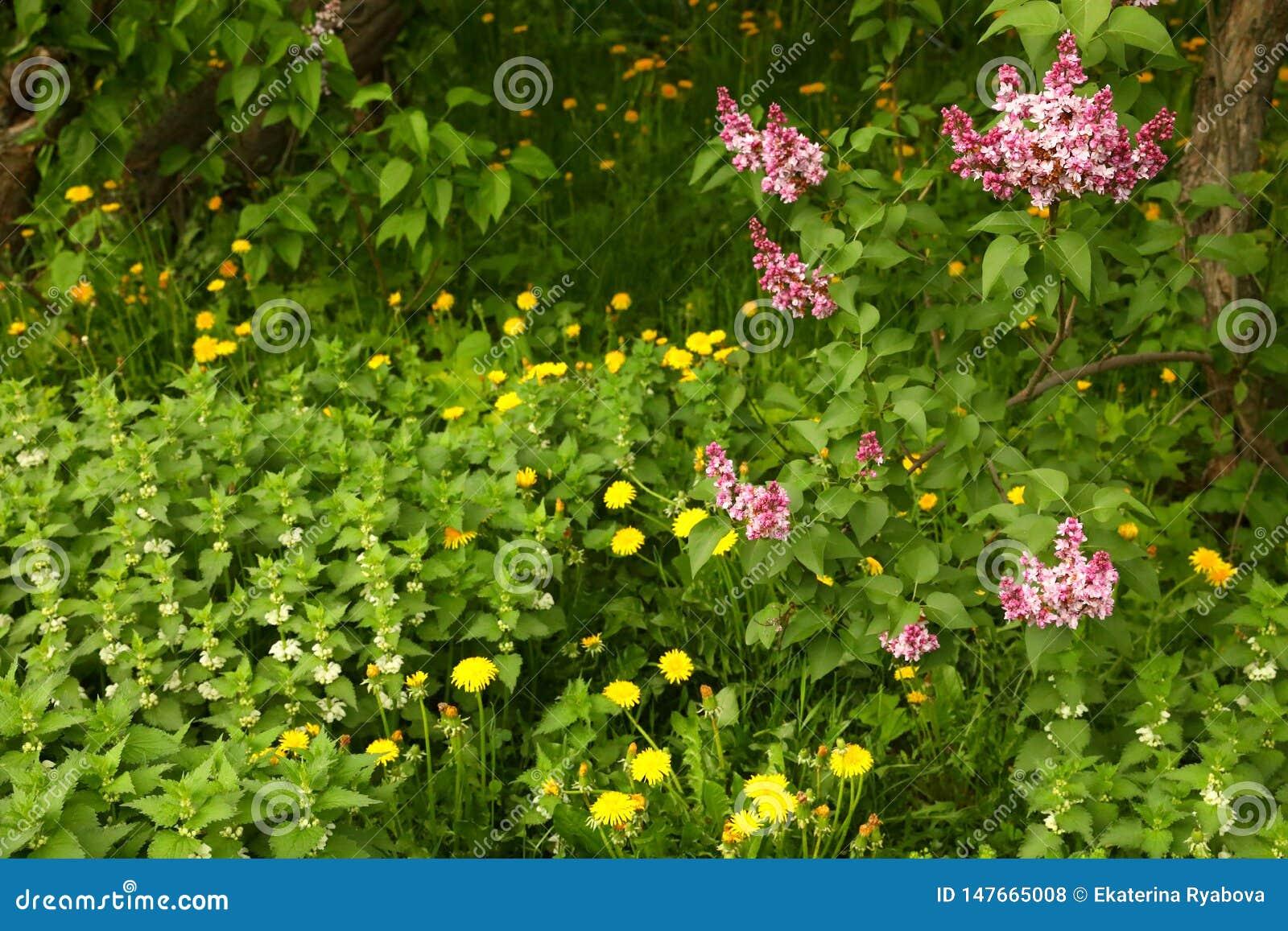 Lavender lilac bushes, dandelions and white dead nettle