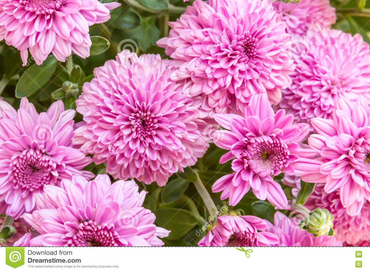 Lavender pink chrysanthemums stock photo image of background a lovely bouquet of chrysanthemums a perfect background for any mothers day or november birthday project izmirmasajfo