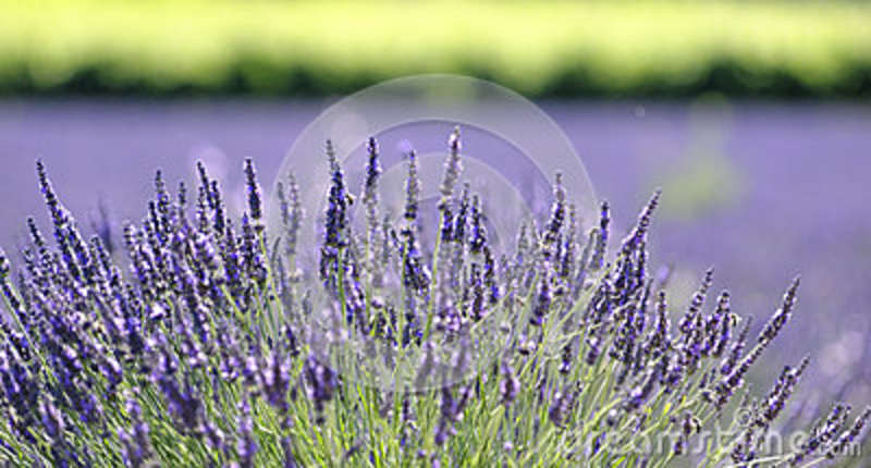 Lavender plant in bloom