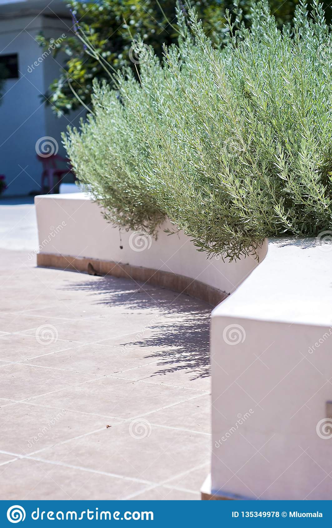 Lavender plant at the hotel reception yard in Rhodes, Greece