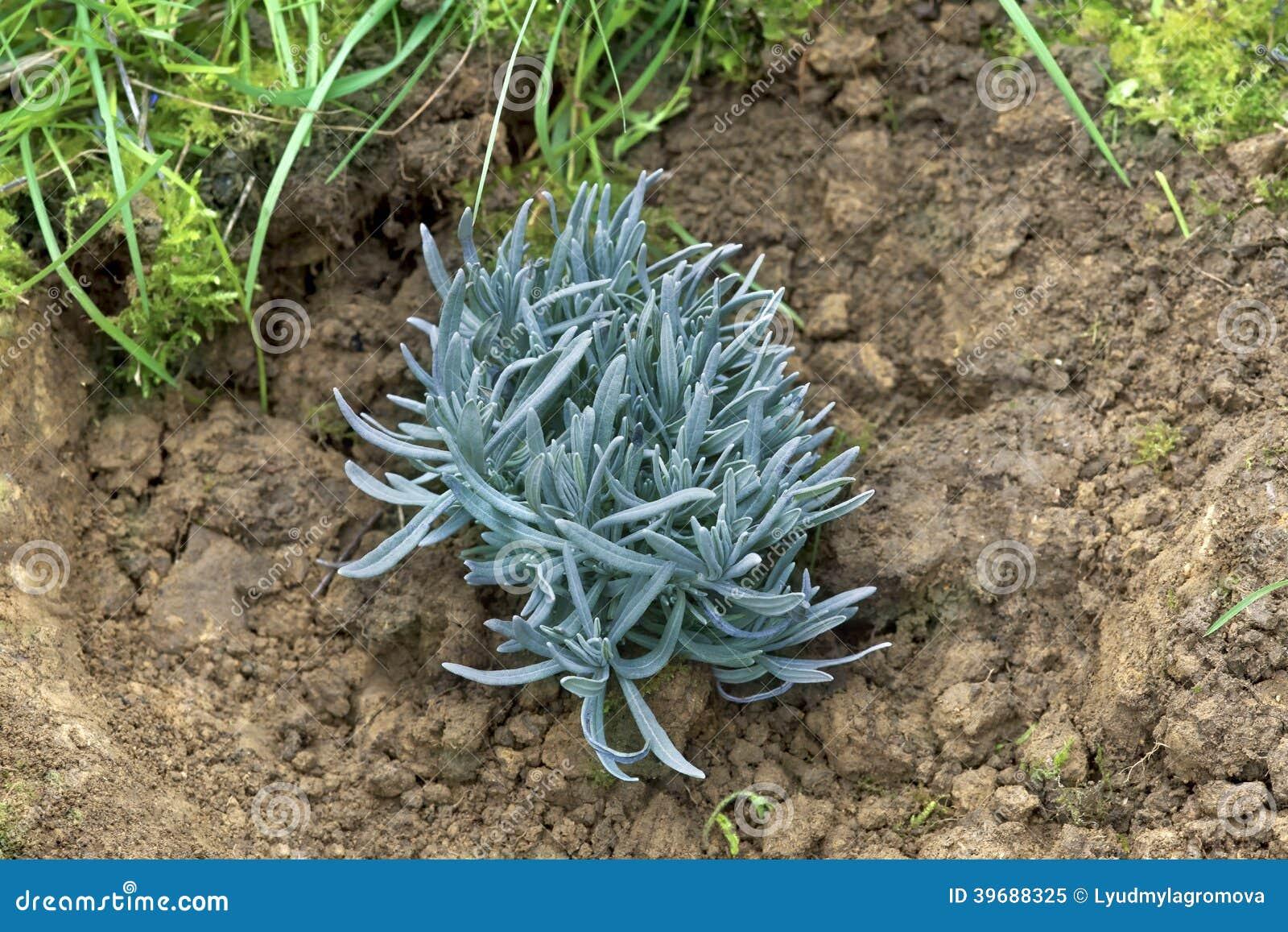 A lavender plant