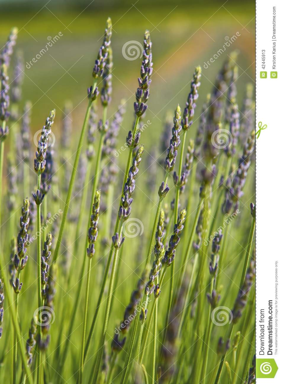 Lavender Stock Photo - Image: 42445913