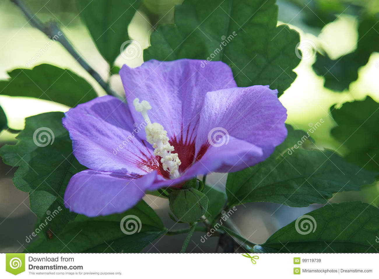 Lavender Rose Of Sharon Blooming In The Garden Stock Image Image