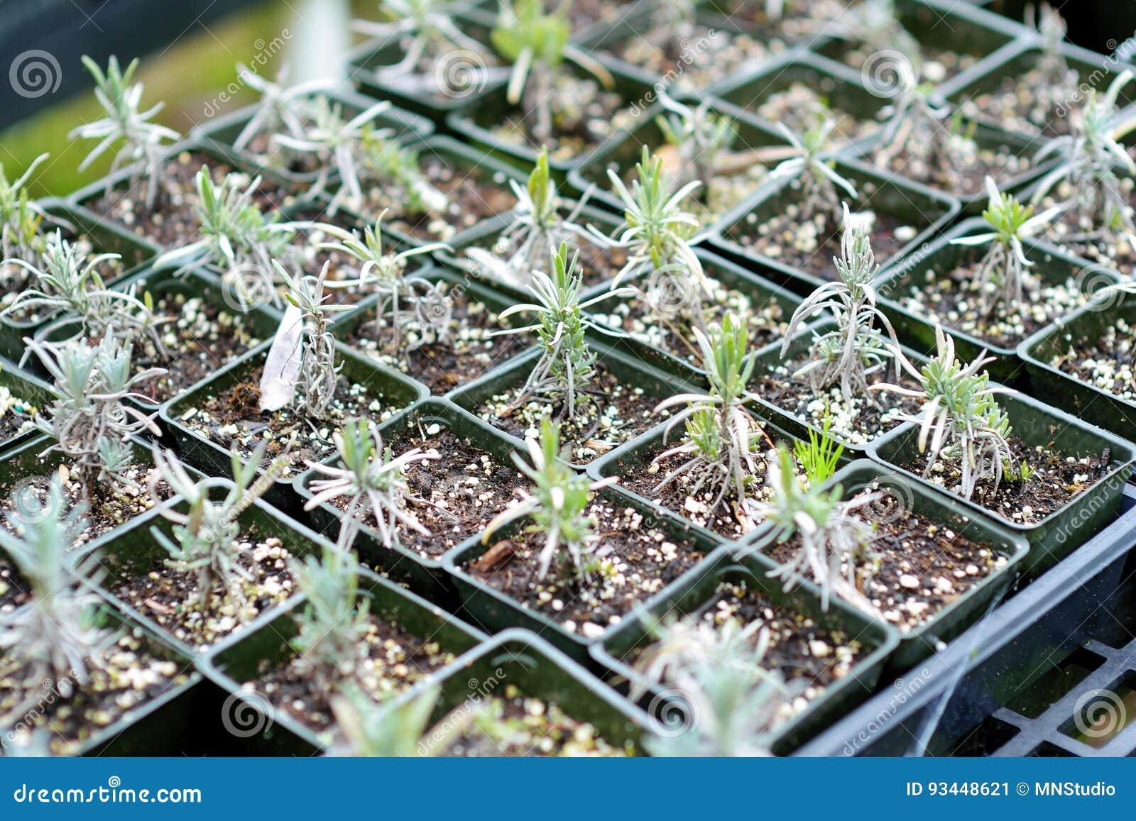 Lavender Seedlings In The Greenhouse Located In Kula
