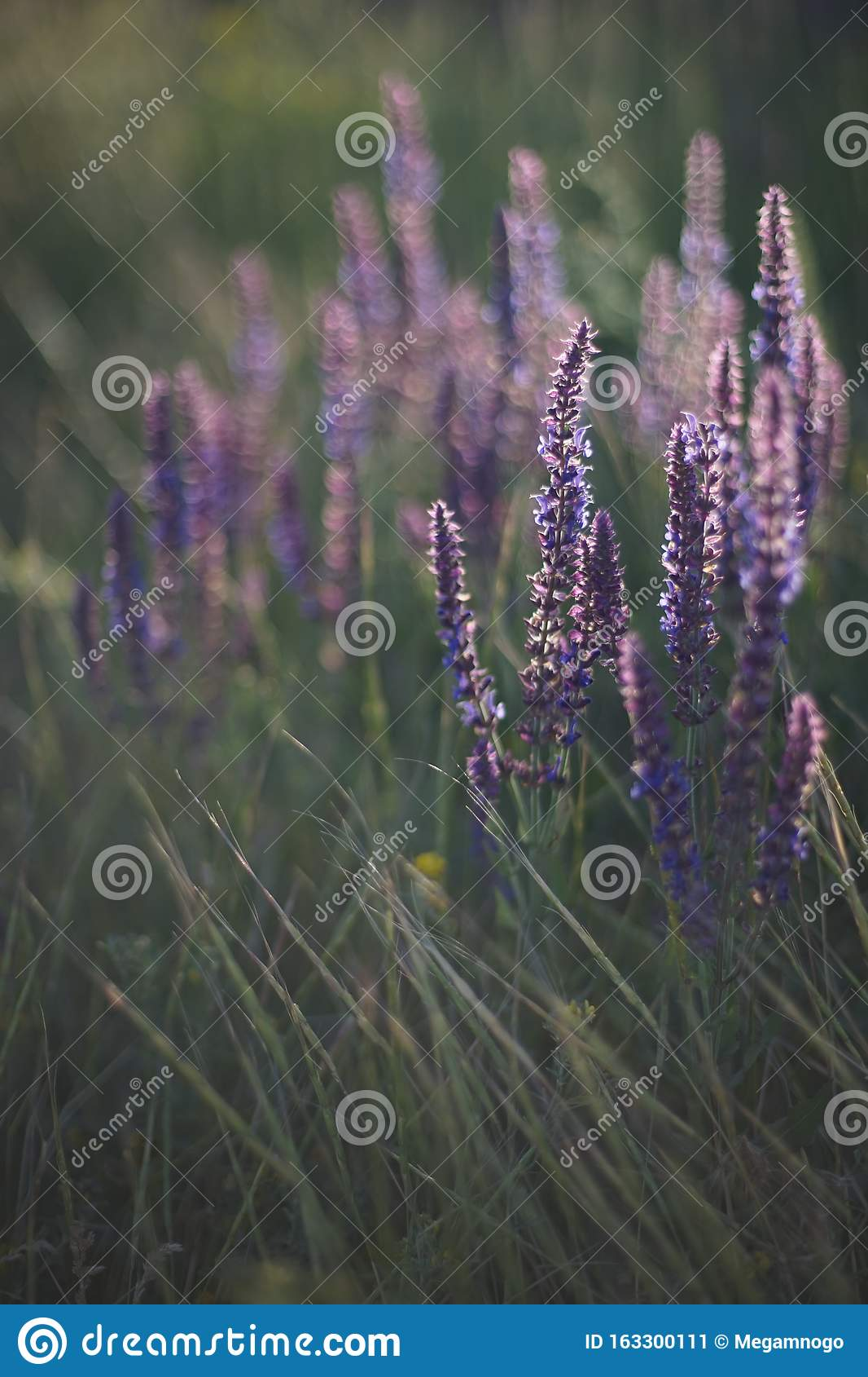 Lavender At Sunset Field Of Purple Flowers Stock Image Image Of Scented Blue 163300111