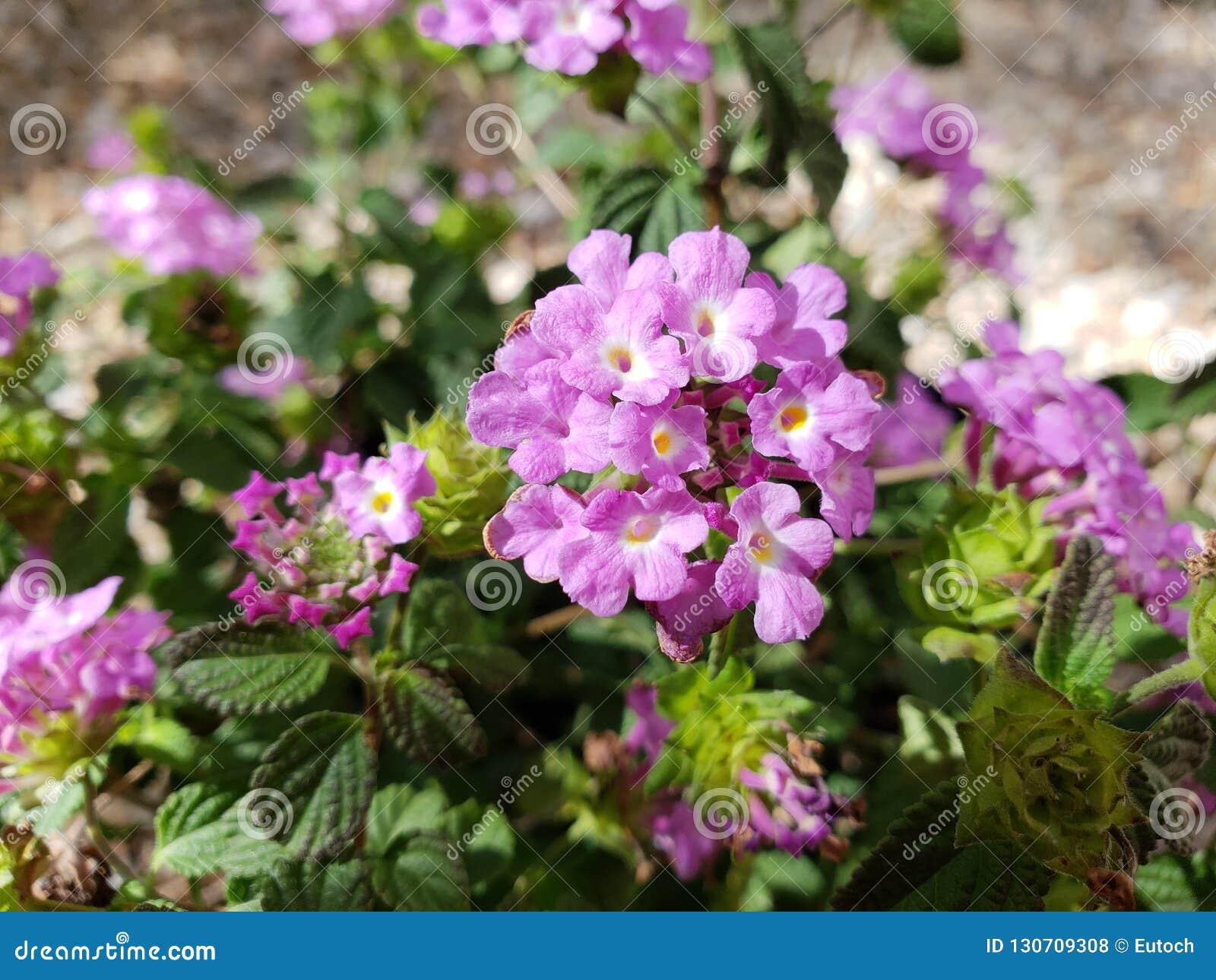 Lavender Trailing Lantana Stock Photo Image Of Ground 130709308
