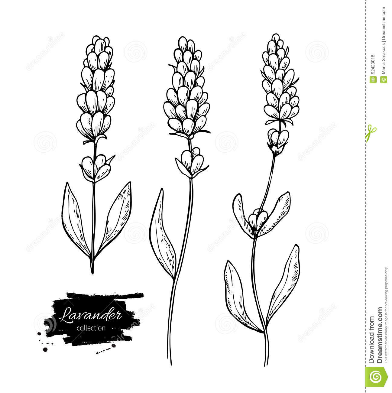 Line Drawing Lavender : Lavender vector drawing set isolated wild flower and