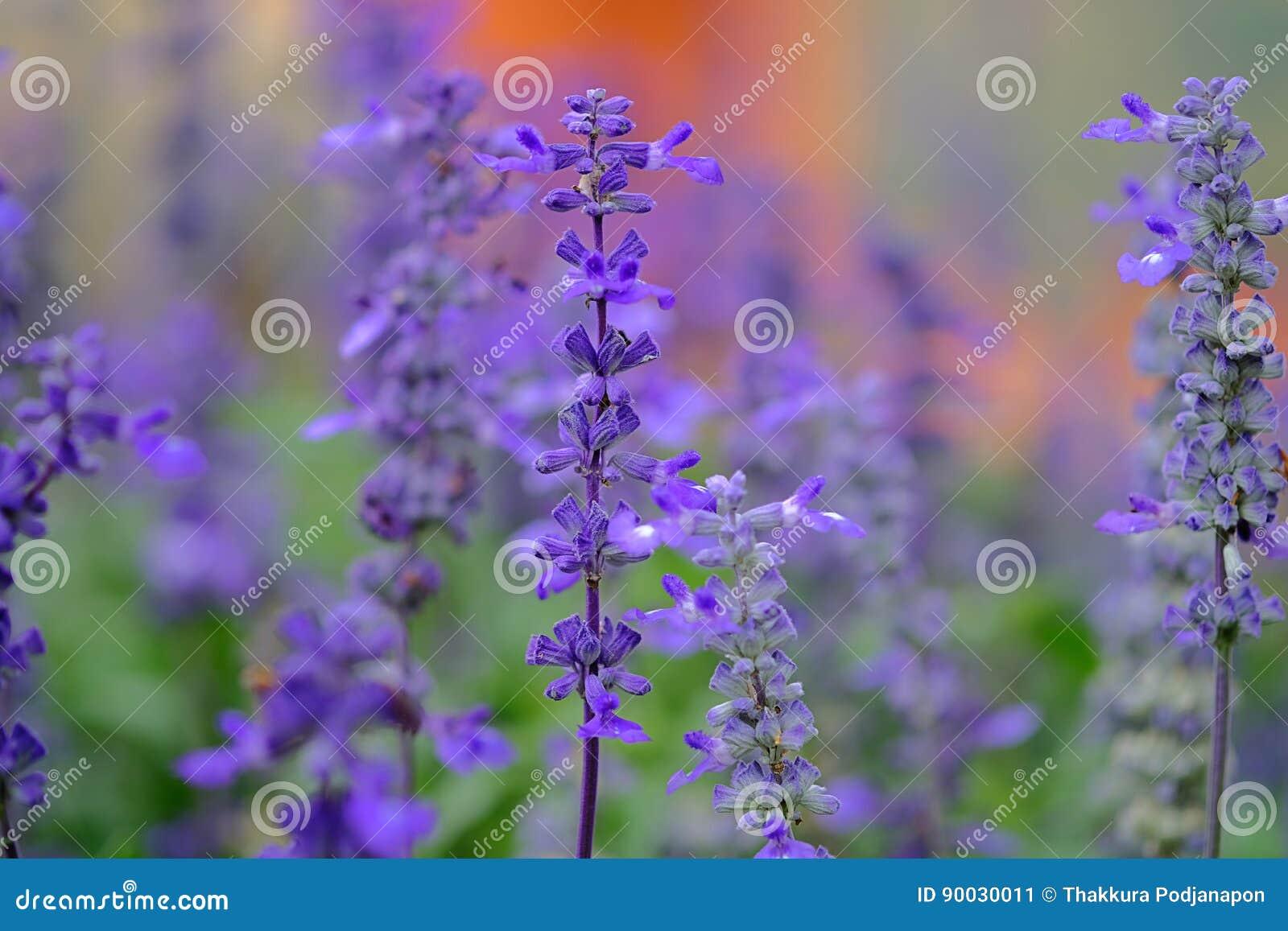 Lavender violet color