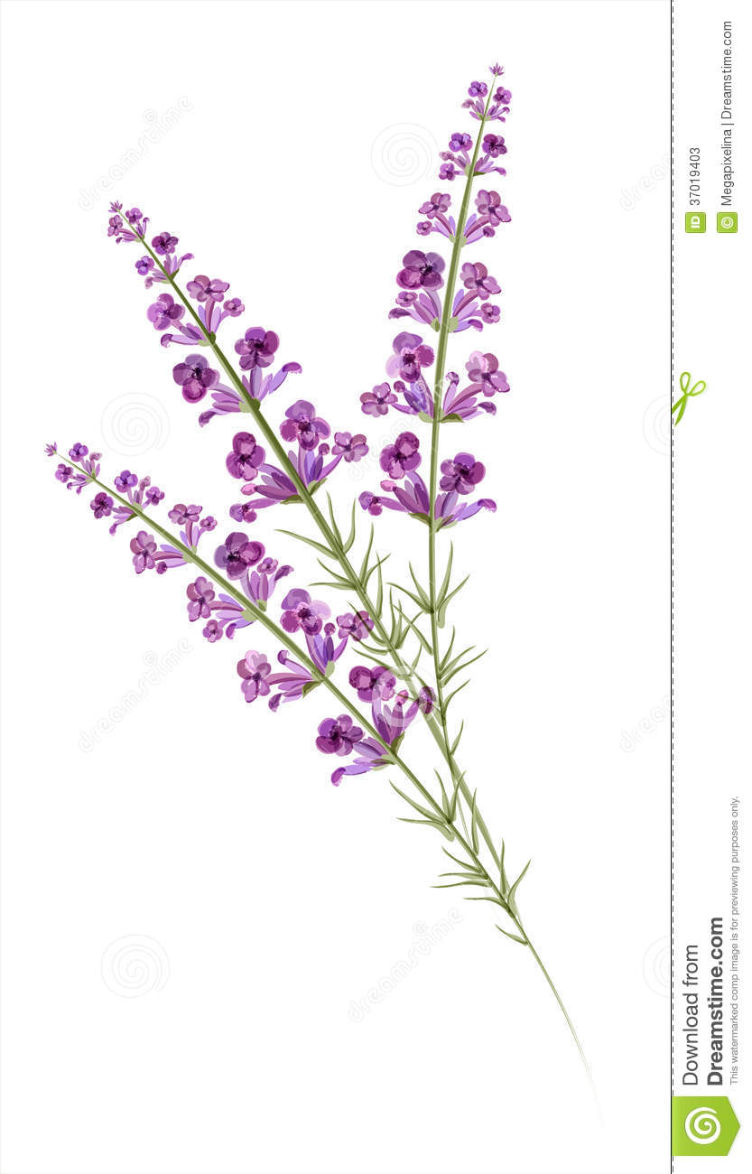 Lavender. Watercolor Drawing. Vector Stock Photos - Image: 37019403