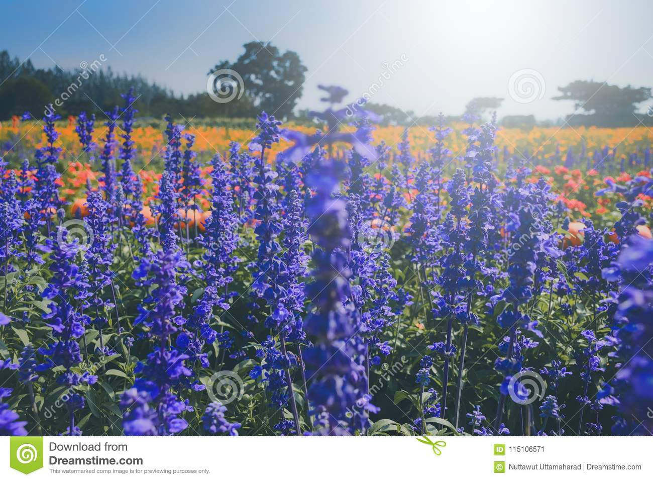 Lavenders Flowers In Spring Time Selective Focus Stock Image