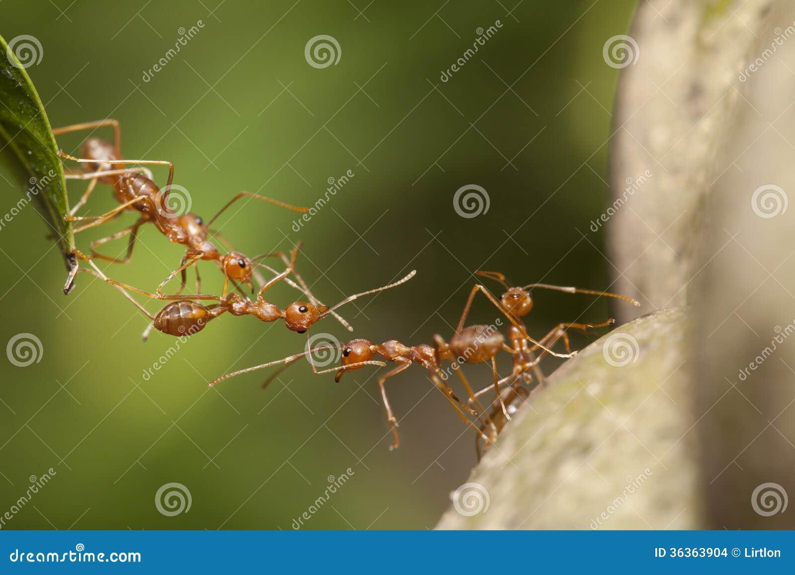 Lavoro di squadra della formica