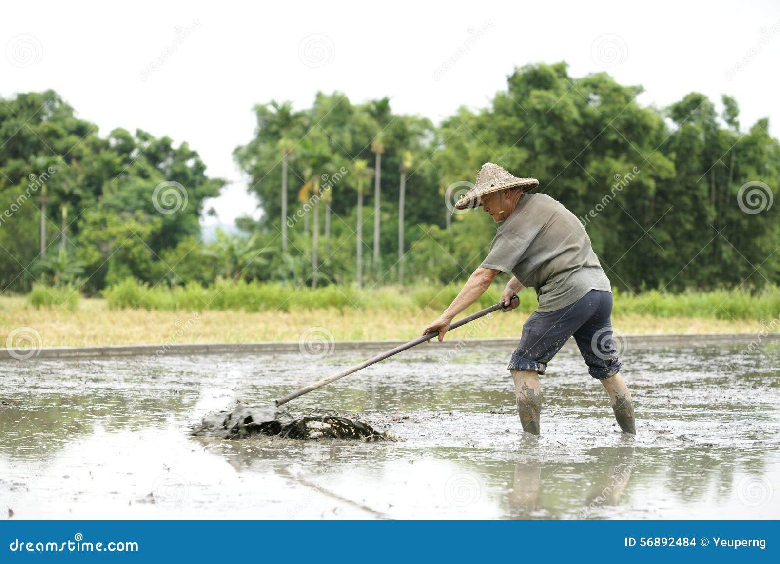 Lavoro nel giacimento del riso