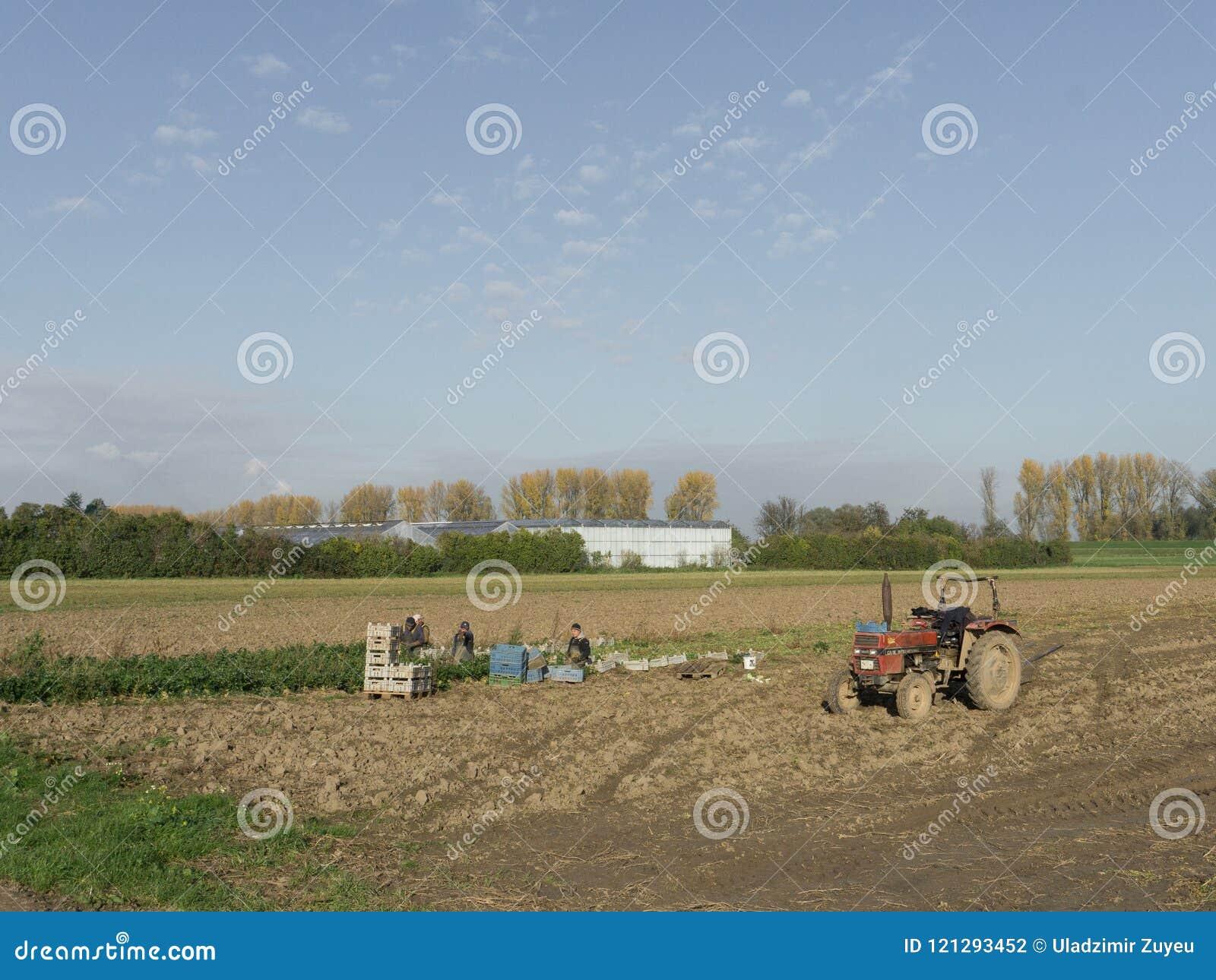 Lavoro polacco degli agricoltori nei campi di verdure