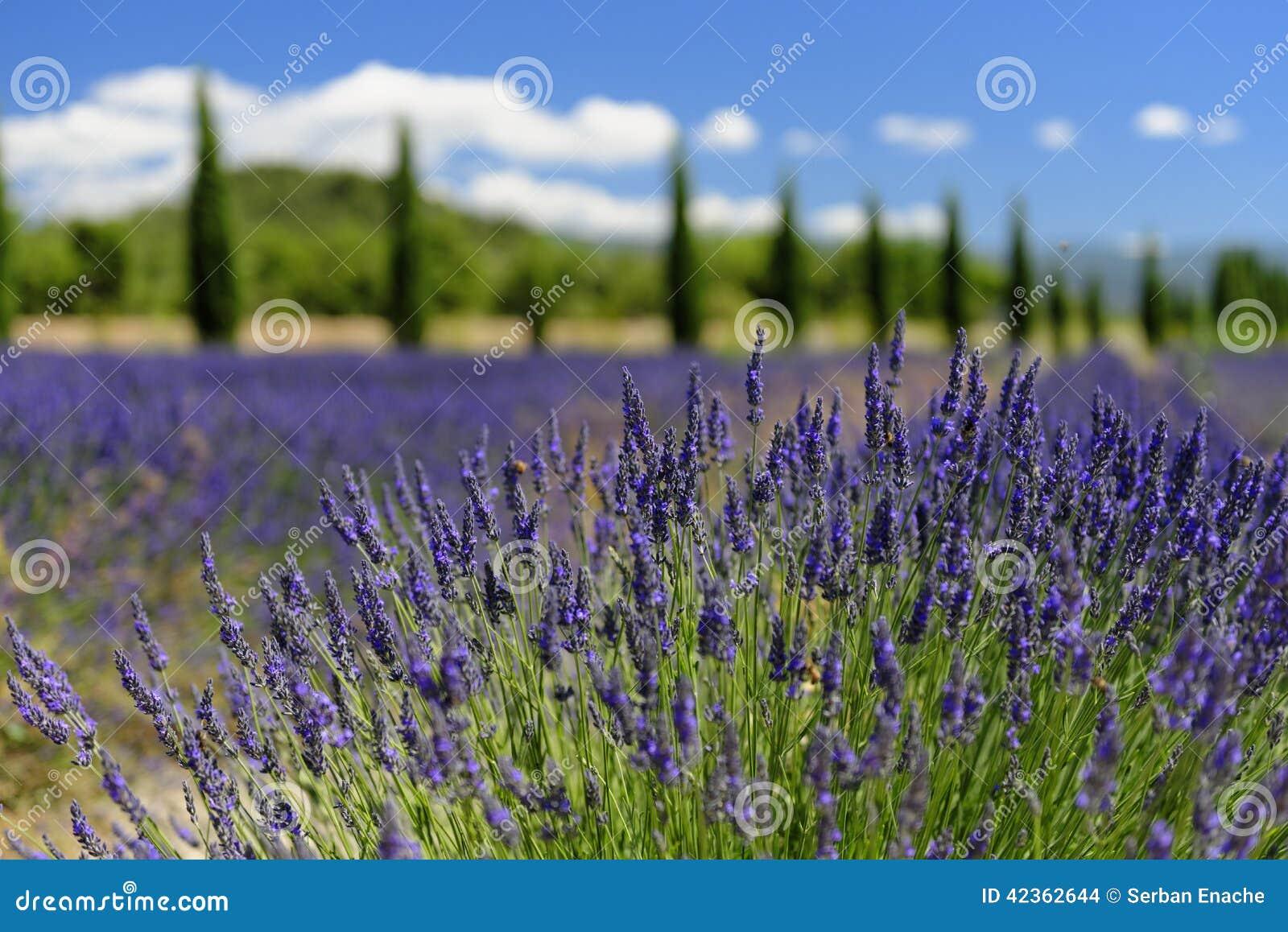 Lawenda kwitnie w Provence