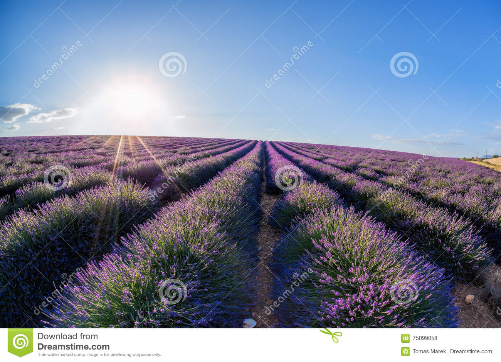 Lawendy pole przeciw niebieskiemu niebu w Provence, Francja