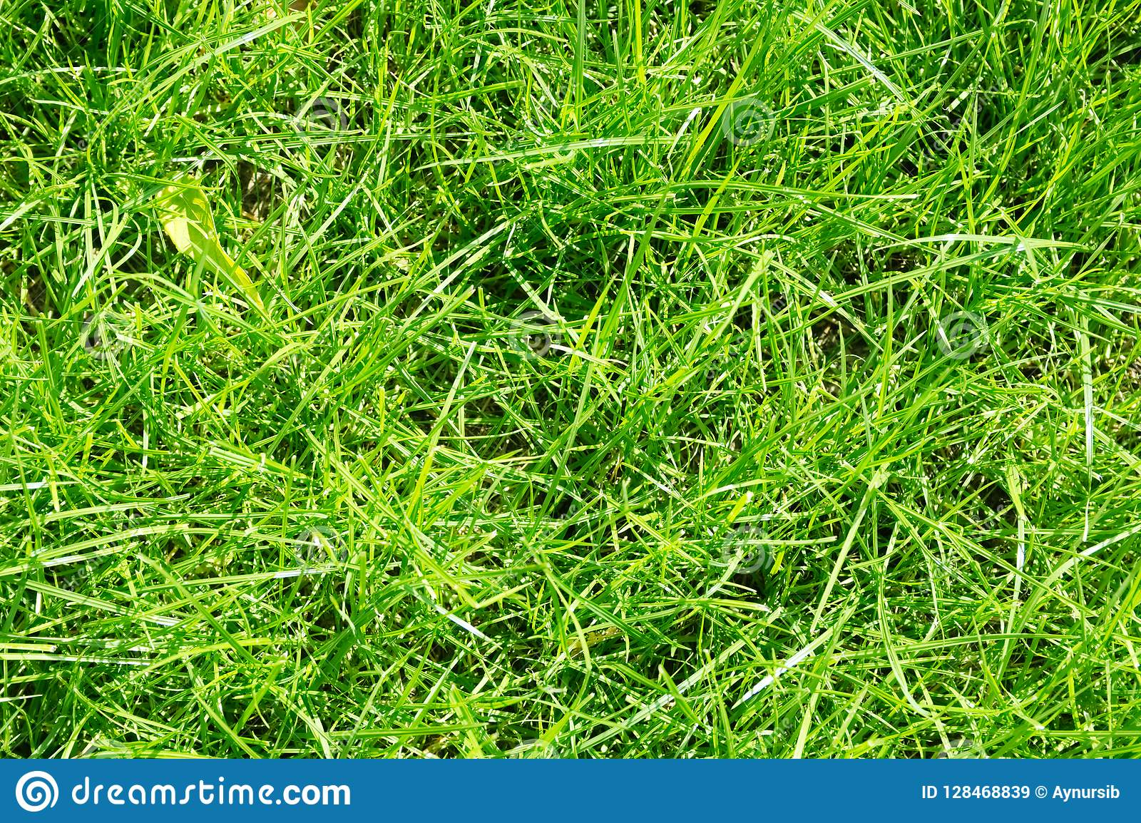 Lawn background. fresh green grass in garden. vividly bright green carpet outdoor. decorative plant for landscaping