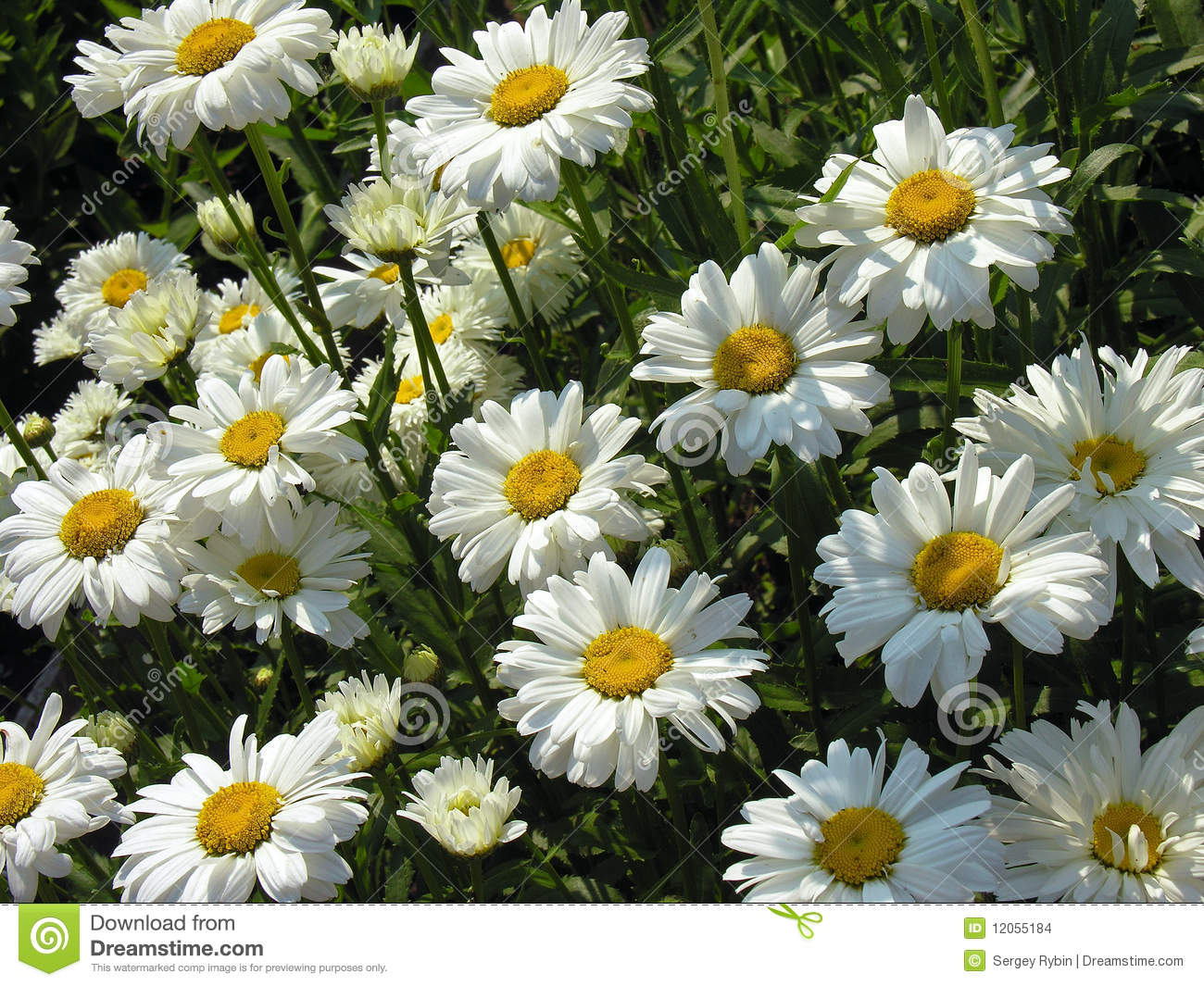 how to grow chamomile lawn