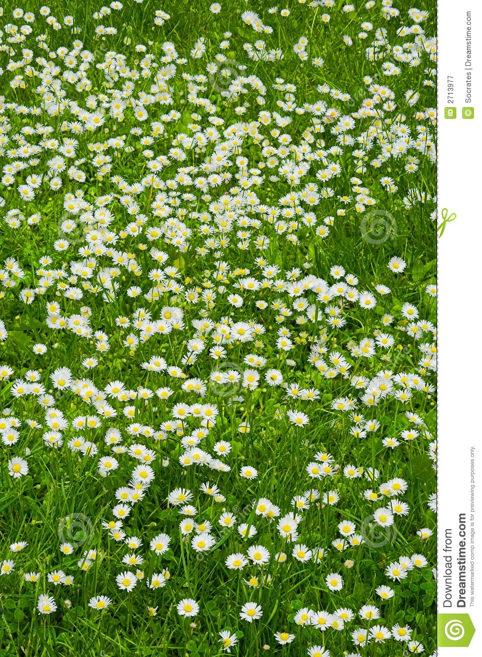 A lawn of white flowers stock image image of gardening 2713977 download a lawn of white flowers stock image image of gardening 2713977 mightylinksfo