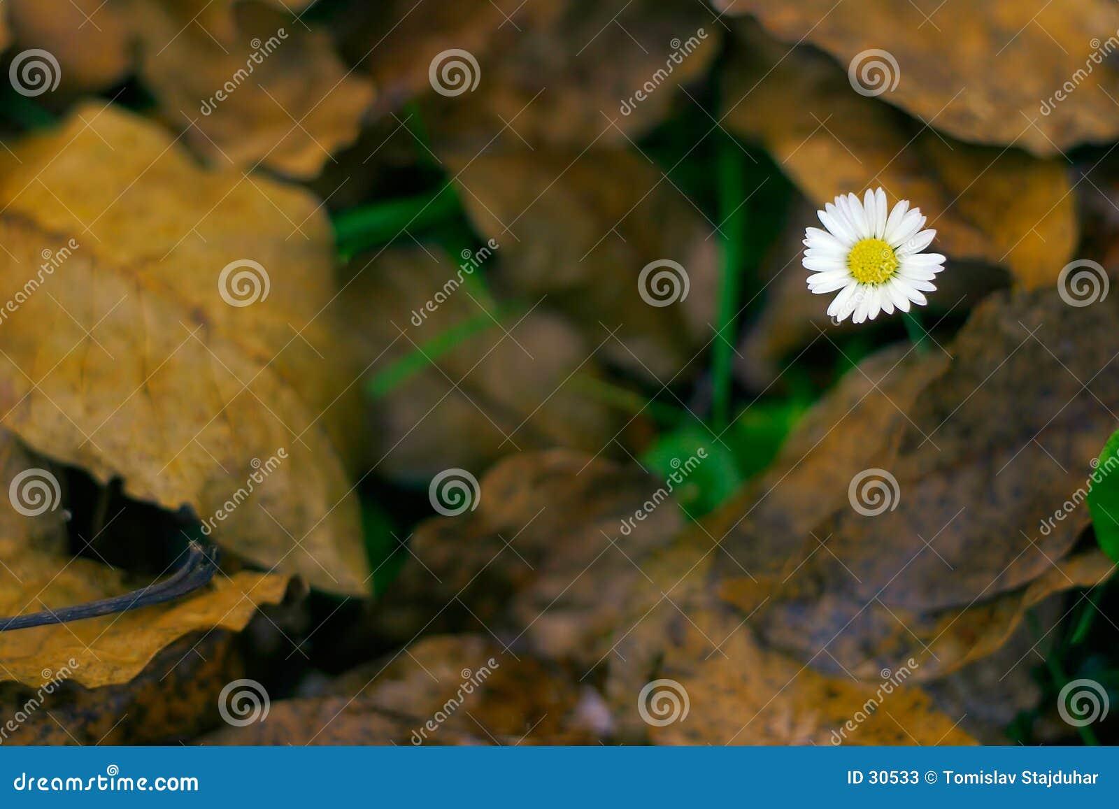 Download Lawndaisy y hojas muertas imagen de archivo. Imagen de estación - 30533