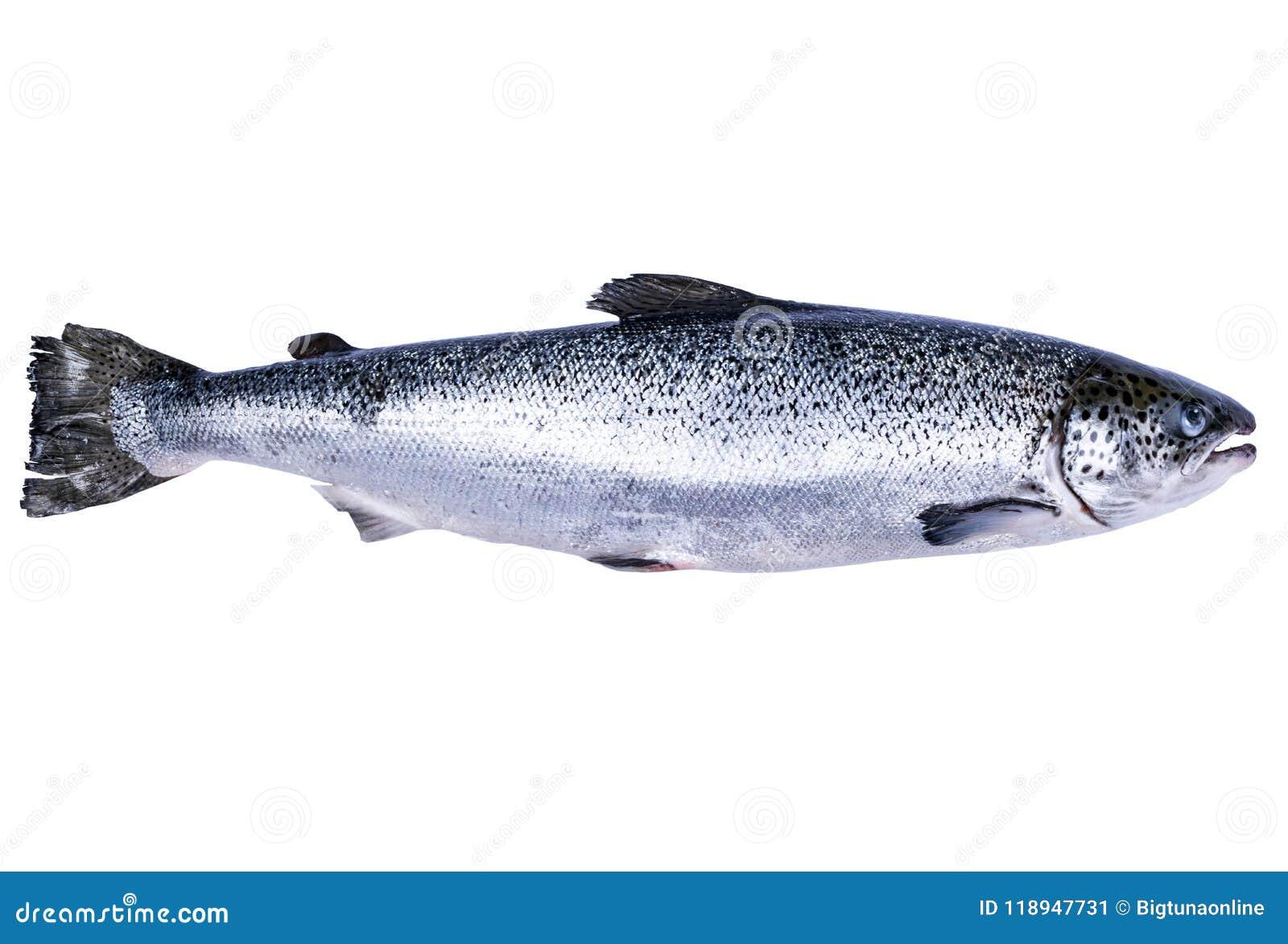 Laxfisk som isoleras på vit bakgrund Ny lös lax som isoleras på en vit Ny hel lax Tomt avstånd för text Kopieringssp