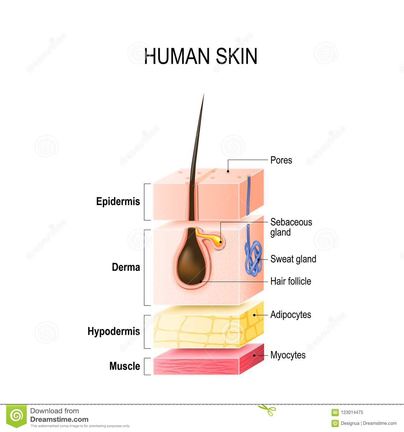 layers of healthy human skin with hair follicle, sweat and sebaceous glands   epidermis, dermis, hypodermis and muscle tissue  vector illustration for  your