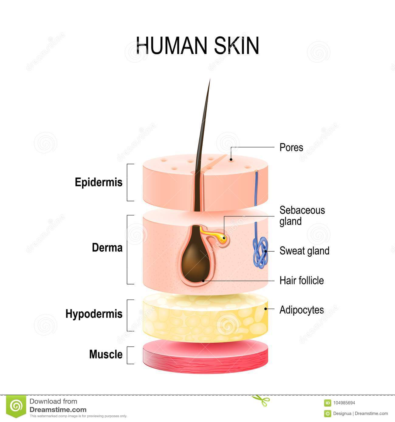 Layers Of Human Skin Stock Vector Illustration Of Beauty 104985694